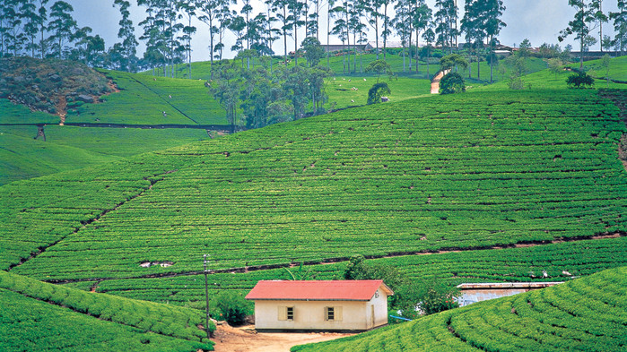 Teplantasjer i høylandet