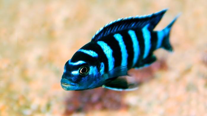 Malawisjøen er verdens åttende største sjø og her fins fler fiskearter enn i noen annen sjø på jorden.
