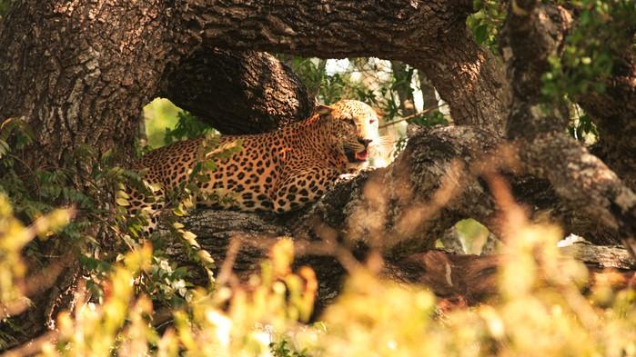 Leopard i Yala nasjonalpark