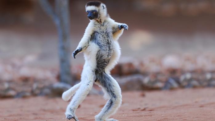 Med litt flaks ser man dansende lemurer i Andasibe og Ranomafana
