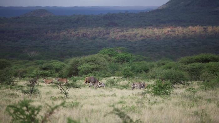 Den største antilopearten, elandantilopen, og sebraer beiter i Tsavo