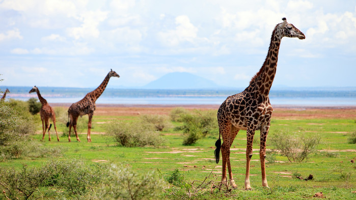 Sjiraffer under en safari i Lake Manyara.