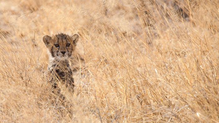 Gepardunge Masai Mara.
