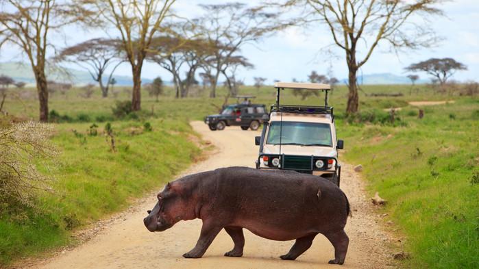 Serengeti, på vei for å bade.