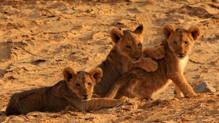 Løveunger under en safari i Masai Mara.