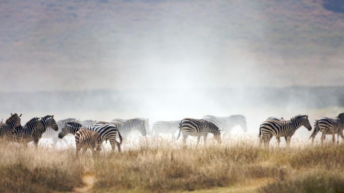 <P>Sebraflokk, Ngorongoro.</P>