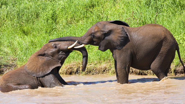 Elefantunger, Tarangire.