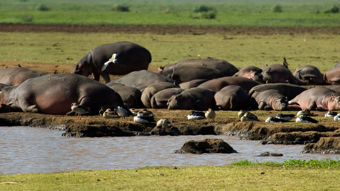 <P>Late flodhester i Manyara nasjonalpark</P>
