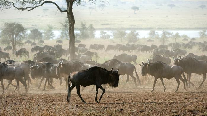 Deler av den mektige migrasjonen under en safari i Serengeti, Tanzania.